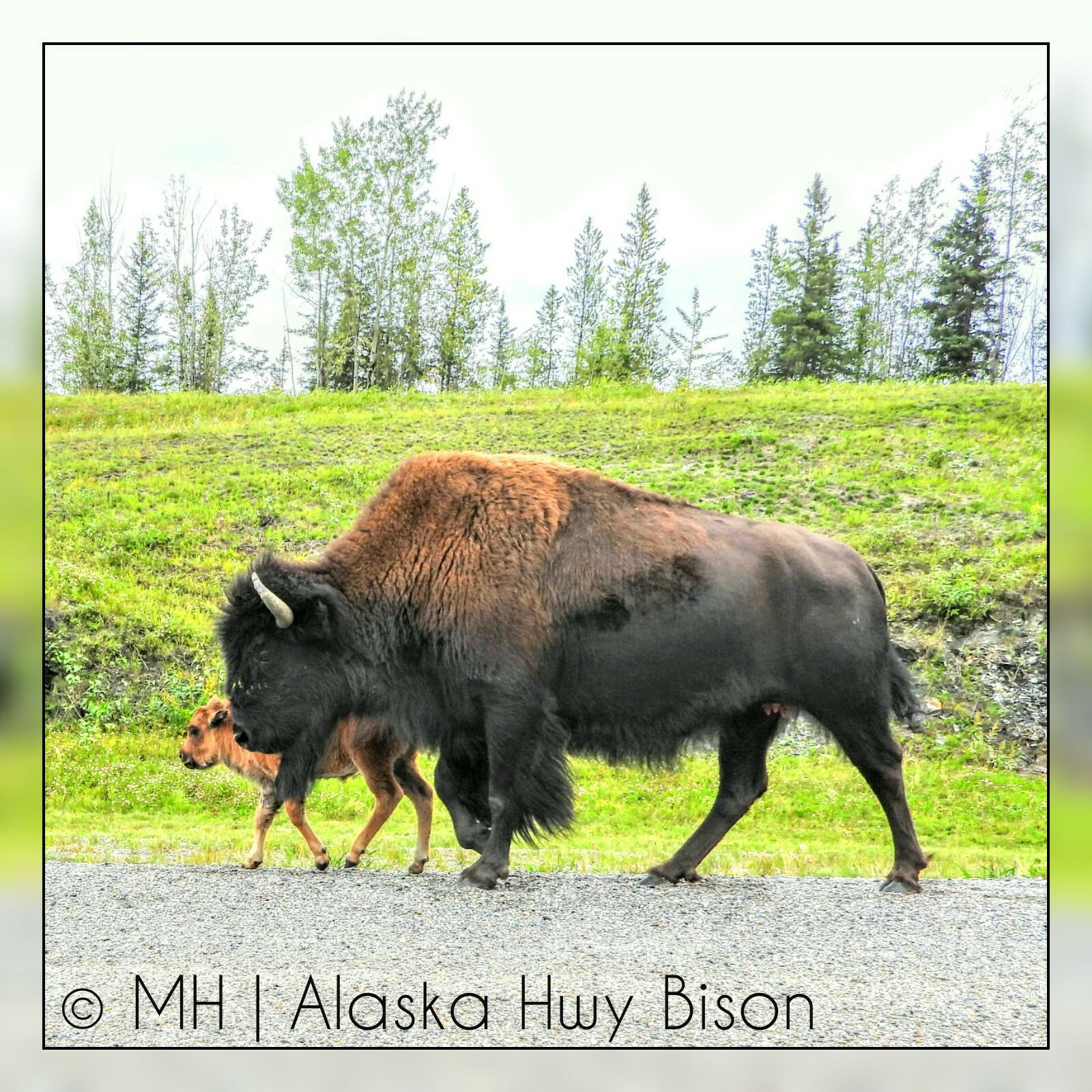 Bison of the Northern Rockies